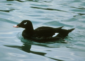 White-winged Scoter (male, from Wikipedia)
