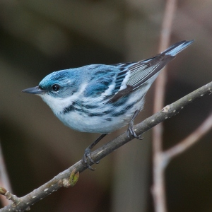 Cerulean Warbler (Wikipedia)