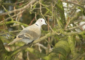 Eurasian Collared-Dove (Wikipedia)