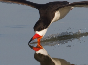 Black Skimmer (Wikipedia)